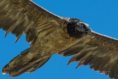 Jeune gypate barbu (Hubert Chiapusso) Tags: oiseau aussois animalsauvage rapace gypatebarbu