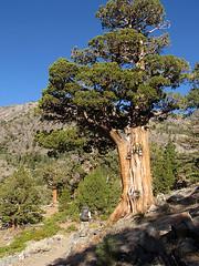 Western Juniper (Mike Dole) Tags: johnmuirtrail california sierranevada anseladamswilderness inyonationalforest