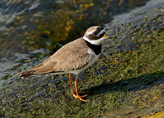 Ringed Plover---- Charadrius hiaticula (creaturesnapper) Tags: waders waterfowl waterbirds birds europe uk ringedplover charadriushiaticula plovers