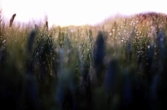 magic (SS) Tags: abstract ss pentax k5 field spring 2016 green countryside lazio italy perspective outdoor depthoffield plant smcpentaxm50mmf17 grass bokeh droplets explore magic
