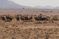 Geier Namibia (duseppl) Tags: geier namibia
