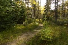 P1050853 Aspen (dhussels) Tags: aspen espen spruce tanne wald forest rockymountains canada kanada worldtrekker waldspaziergang waldweg dariahussels