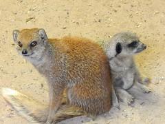 Friends (Sharon B Mott) Tags: mongoose meerkat animals yorkshirewildlifepark october