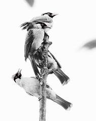 Sooty Head Bulbul_2 (retno s) Tags: bulbul bird animal naturephotography nature