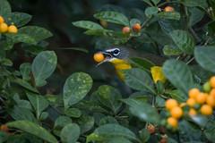 Pit Stop (gseloff) Tags: yellowbreastedchat bird feeding berries wildlife horsepenbayou migrant pasadena texas kayakphotography gseloff