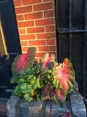 Fall light-Fall 2016- HI RES-0949 (PBIN2351) Tags: goldenhour light nature brick brooklyn iphone6s patbianculli pbin2351