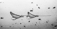 The Couple (DRoofing163) Tags: black white couple fish wings underwater eagle ray flying wolf following galapagos 500px agressor
