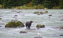 Grizzly Fishing (Pete Foley) Tags: grizzlybear fishing alaska salmon nature overtheexecence flickrsbest
