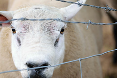 Get Me Out! (Kimberley Hoyles) Tags: sheep traped