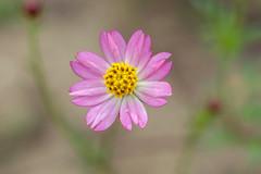 Cosmos Caudatus (Just_hobby) Tags: flower purple sonya6000 sel50f18 extensiontube outdoor macro
