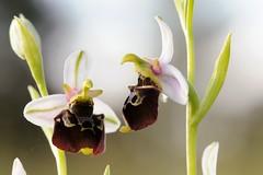 20160609-055F (m-klueber.de) Tags: 20160609055f 20160609 2016 mkbildkatalog europische mitteleuropische flora mainfranken unterfranken orchidee orchidaceae ophfuci ophrys fuciflora sstr holoserica holosericea hummel ragwurz hummelragwurz
