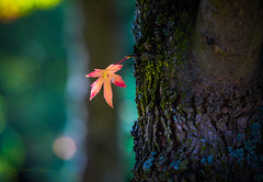 The Lonely Leaf (Prab Bhatia Photography) Tags: single leaf fall autumn bokeh dof lonely singleleaf autumnleaves flickrfriday