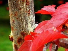 Virginia Creeper (starmist1) Tags: swingsetpipe virginiacreeper fallcollors crimson corrosion rope
