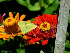 Sulphur (Picsnapper1212) Tags: sulphur butterfly insect animal nature yellow