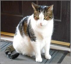 The Doorstep Cat .. (** Janets Photos **) Tags: uk feline cats animals pets