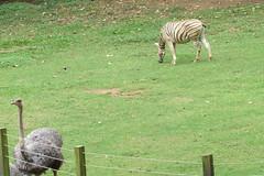 Zebra, Avestruz, Quero-Quero - ZOO SP (comin.fernando) Tags: zebra avestruz parque zoolgico de so paulo