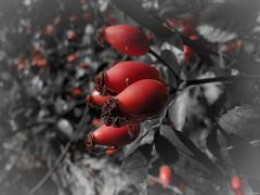 Agavanzando (Luicabe) Tags: agavanzo airelibre cabello enazamorado escaramujo exterior fruto luicabe luis macrofotografia naturaleza planta profundidaaddecampo rosal silvestre yarat1 zamora ngc
