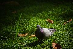 Paloma (chwmax) Tags: paloma bird dove naturaleza