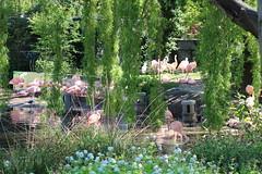 Amsterdam - Artis (corno.fulgur75) Tags: amsterdam amesterdão noordholland hollandeseptentrionale severníholandsko nordholland northholland holandaseptentrional olandasettentrionale holandiapółnocna holandadonorte netherlands paysbas nizozemsko holland hollande niederlande paísesbajos paesibassi nederland holandia paísesbaixos may2016 artis zoo naturaartismagistra flamingos flamantsroses