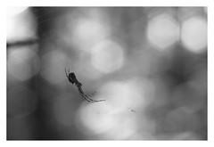 1 (kotmariusz) Tags: close up spider bokeh black white monochrome monochromatic pajk poland widnica polska monochromatyczny canon industar 55mm f28