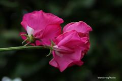 Sweet Pea - Stannington Northumberland England (WanderingPJB) Tags: flowers pinkpurple england northumberland stannington sweetpea pink cmwdpink colourfulworld smileonsaturday flowersbottom 7dwf