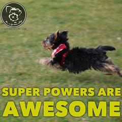 Yorkies have amazing super powers (itsayorkielife) Tags: yorkiememe yorkie yorkshireterrier quote