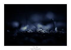 La nuit tout les champignons sont gris (Naska Photographie) Tags: naska photographie photo photographe paysage proxy proxyphoto champs mushroom nuit night bleu dark darkness black macro macrophotographie macrophoto bokeh color couleur