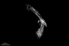 Bald Eagle (lironsnaturephotography.com) Tags: baldeagle eagles eagle baldeagles haliaeetusleucocephalus fraservalley harrisonmills harrison harrisonriver bc britishcolumbia canada pacificnorthwest lironsnaturephotographycom canon7dmarkii canoneos7dmarkii 7dmarkii canonef500mmf4lisusm bird birds birding birdphotography birdwatching animal animals wild wildlifephotography wildlife nature naturephotography natural salmon salmonspawn river rivers predator predators raptor raptors flight flying