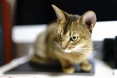 Portrait in Loneliness (miyukiz4 su ood) Tags: cats cat kitten  gttino chaton gatito ktzchen gatinho littledoglaughedstories