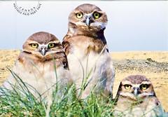 Burrowing Owl (postcardlady1) Tags: burrowingowl