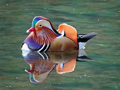 Mandarin Duck (PhotoLoonie) Tags: mandarinduck duck colourful colours feathers reflection waterreflection britishwildlife wildlife ukwildlife