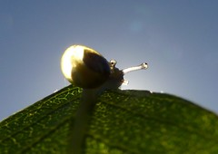 See through snail..x (lisa@lethen) Tags: snail macro tiny nature wildlife micro outdoor leaf blue sky transparent