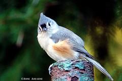 Tufted Titmouse (--Anne--) Tags: bird birds nature wildlife tufted titmouse cute animal