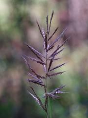 Grass Seed (bamboosage) Tags: rikenon p macro 105 28 kiron lester a dine