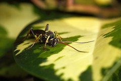 Large Ichneumon wasp #1 (Lord V) Tags: macro bug insect wasp ichneumon