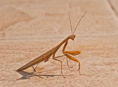 mantis (forestphotographic) Tags: mantis
