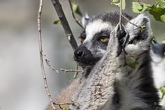 Lemur 2016-10-14 (60D_4254) (ajhaysom) Tags: lemur melbournezoo melbourne australia canoneos60d sigma120400
