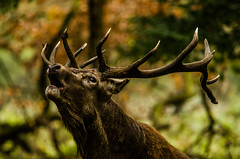 Stag (Ben Duursma) Tags: stag deer mammal animal bellow bellowing calling woodland antlers eyes large richmond park wildlifephotography youngphotographers wildlife nature photography london urban natural world young ben duursma nikon d7000 sigma 150500mm