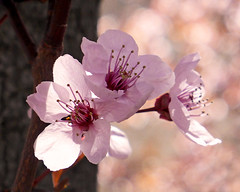 plum blossoms (rona black photography) Tags: pink flowers plant flower tree nature spring bokeh plumblossoms japaneseapricot chineseplum ronablack