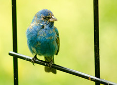 Indigo Bunting (Maggggie - gone a bit) Tags: blue bird backyard indigobunting