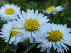 Daisies (Ellie Skye) Tags: flower nature up close daisy