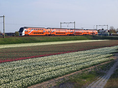 Kings Train at Hillegom, May 5, 2013 (cklx) Tags: holland spring tulips lente tulpen voorjaar bollenstreek virm hillegom 2013 9520 kingstrain koningstrein