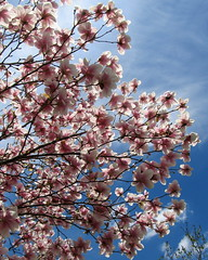 IMG_2109 (quirkyjazz) Tags: trees clouds spring lookingup magnolias blueskky