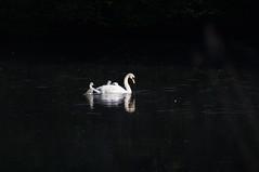 Swan & Cygnets (The Manual Photographer) Tags: lake southwales swan cygnet