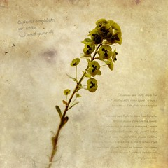 Euphorbia (Phoneographer) Tags: stilllife painterly flower texture floral square bloom specimen blend iphone superimpose procamera textureblend psexpress iphoneography filterstorm snapseed moderngrunge titlefx