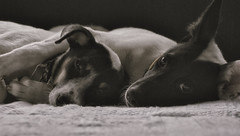 Wakey Wakey (Jenningspony78) Tags: friends light sleeping portrait dog cute love dogs dark puppy geotagged photo pups puppies asia nap afternoon cross sleep sony canine best borneo processing cuddle snooze 365 pup dslr brunei lay chilled a55 bangar sonya55