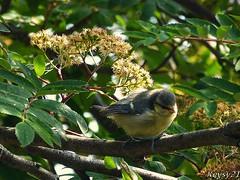 Looking For Food (kev thomas21) Tags: uk trees england tree bird birds liverpool wildlife greattit merseyside