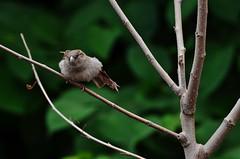 no-crop bird photography: stretching sparrow (photo no.1) -------- viewed 208x (norlandcruz74) Tags: bird birds animals fauna composition lens point nikon view pov perspective telephoto sparrow framing nikkor 70300mm viewpoint afs telefoto d5100