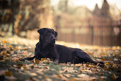 Maza aka Gara (cvele001) Tags: autumn portrait dog leaves yellow kids dc nikon bokeh weekend 105 beograd selo plac jesen vikend lisce vikendica