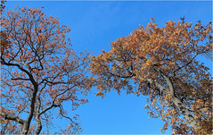 Reaching Out (ioensis) Tags: park november autumn trees sky fall out oak reaching branches mo blackburn missouri webster groves 2014 jdl ioensis 87962007067tmf1b©